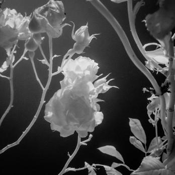 Roses - Remembering William Morris